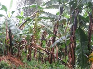 Unser Bananenwald direkt nach der Böe